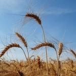 Movimentação de trigo cresceu consideravelmente (Foto: Acervo/Ed. Globo)