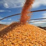 Nas três primeira semana de agosto, a exportação de milho somou 1,41 milhão de toneladas (Foto: Ernesto de Souza/Ed. Globo)
